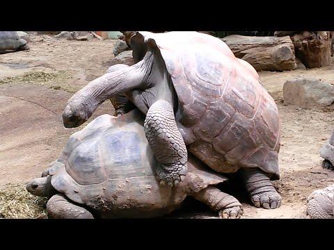 Aldabra Giant Tortoises Mating Loudly