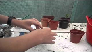 Transplanting the sprouted apple seeds