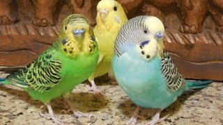 8 Hours Parakeets Bird Chirping Sounds, Prevent heart diseases, hyper tension