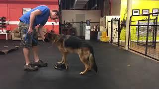 Dog Training   Aggressive dog rehab work   Solid K9 Training Dog Training