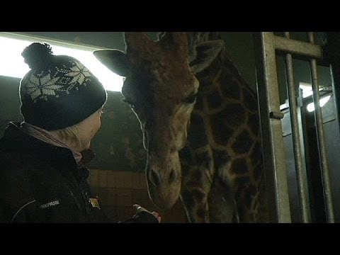 Terrible time to be a giraffe: second 'Marius' under threat in Denmark zoo