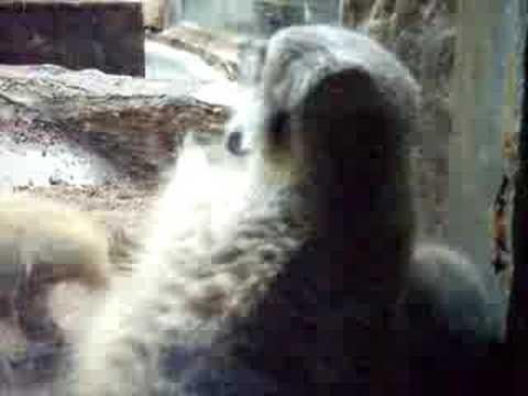 ミーアキャットの赤ちゃん@上野動物園/meerkat baby UENO ZOO