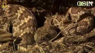 Video clip Thế giới Động vật Hoang dã-Những loài rắn độc nhất thế giới.