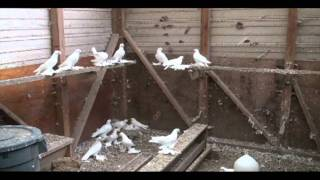 Russian Tumblers Part 1 Peredereyev Pigeons More babies in July of 2012 for sale call (941)276-1154