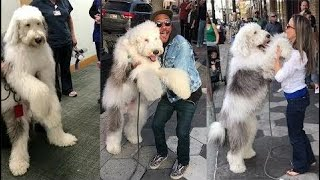 This Sheepadoodle Is The Fluffiest Therapy Dog Around   I Zammypup     Makeup Compilation Instagram