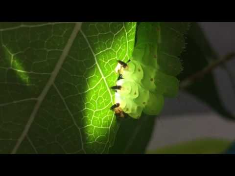 Actias luna nibbling in a sunspot