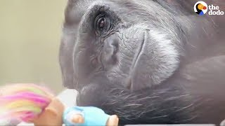 Rescued Chimp