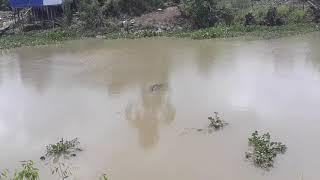 Cá sấu xuất hiện tại An Giang