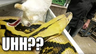 HIS FIRST TIME FEEDING GIANT SNAKES!!! Brian Barczyk