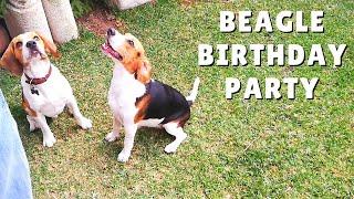 Funny Beagle Dogs Having a Birthday Party 🎈