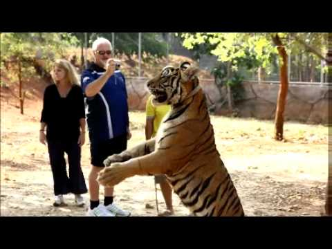 Our visit to the Tiger Temple near Bangkok