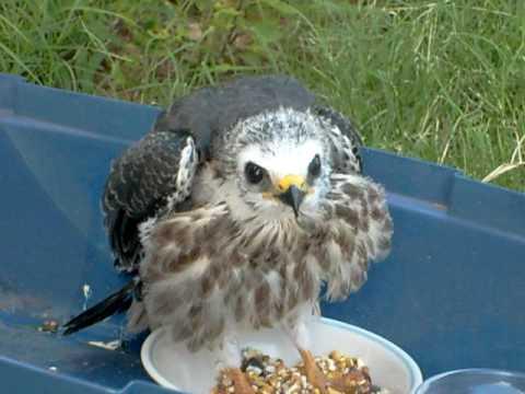 Baby hawk bird - photo#26