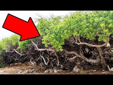 Если Увидите Это Дерево, Бегите Подальше и Зовите на Помощь!