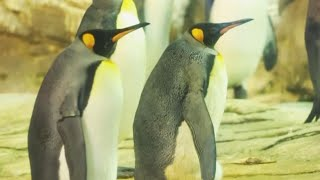 Same-Sex Penguin Couple Incubate Egg Hoping to Become Dads