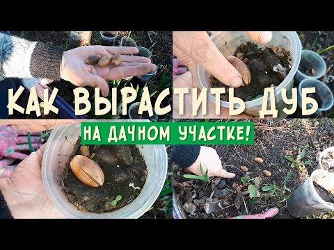 Почва для выращивания дуба 25