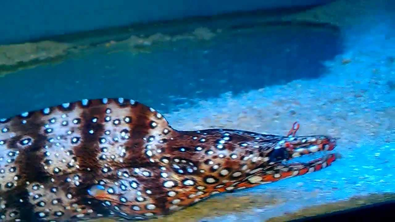 Hawaiian Dragon Eel At Bakersfield Aquatic Pets! - YouTube