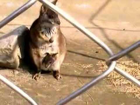 飯田動物園のワラビーの赤ちゃん