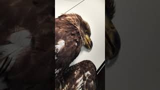 Intake 2018-001: Lead Poisoned Bald Eagle