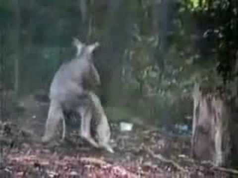 Kangaroo versus Goose … FIGHT!!!