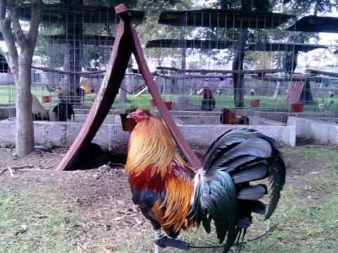 gallos rancho el carmen  de gallos de pelea en acatzingo