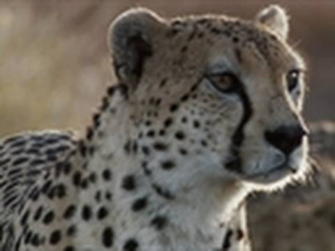 Life - Cheetahs Hunt Ostrich | Challenges of Life Video