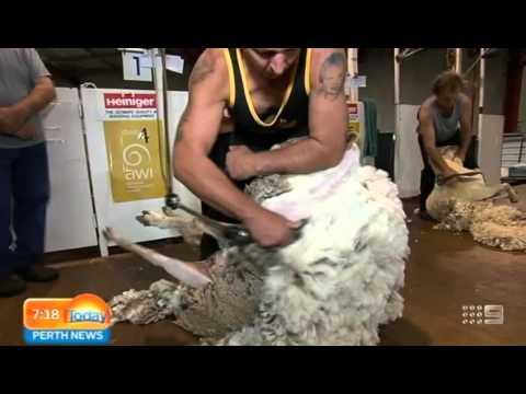 Perth Royal Show 2015 - Sheep Shearing | Today Perth News