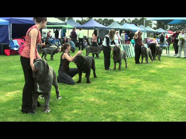 Association of All Mastiff Breeds of Victoria - 9th Championship Show - Highlights