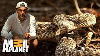 Conheça a cascavel diamante ocidental   Perdido na Califórnia   Animal Planet Brasil