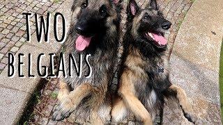 Two Belgians | Belgian Shepherd Tervuren Dog