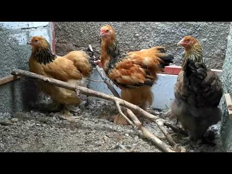 Ayam Brahma Eropa