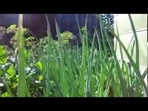 Лук репка для выгонки на зелень в теплице, лук батун agri uf.