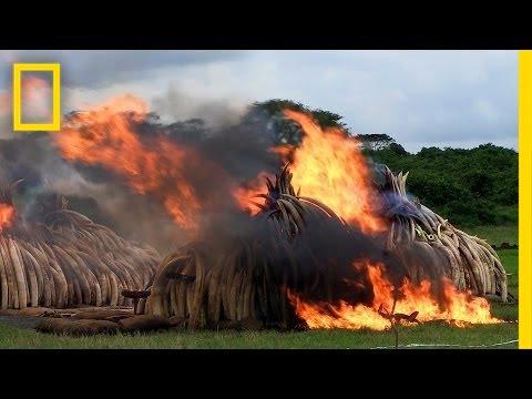 Largest Ever Ivory Burn Destroys 105 Tons