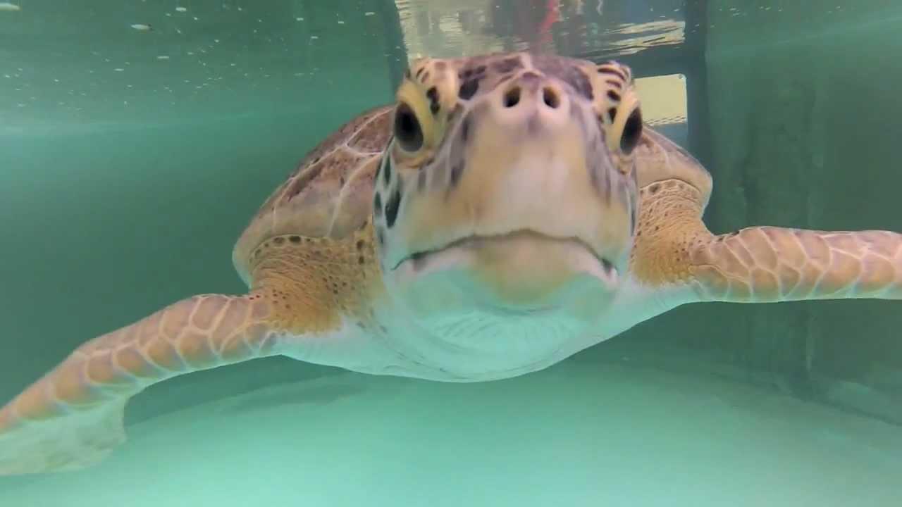 Sea Turtles in Texas Sea Turtles in Texas