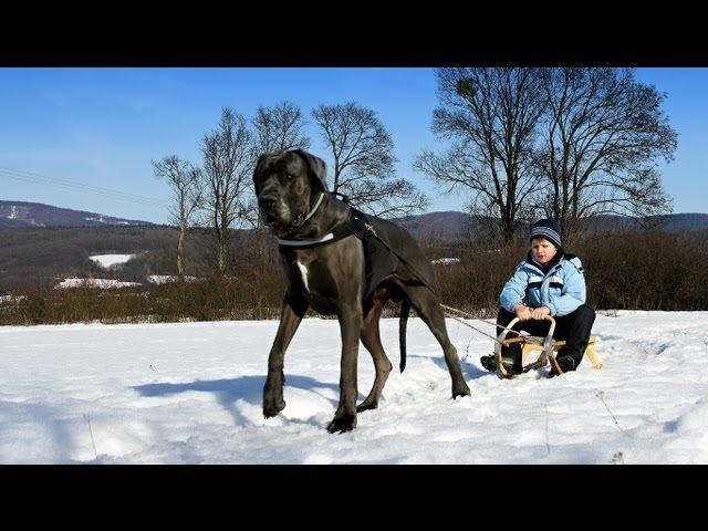 Great Dane - sledge dog.