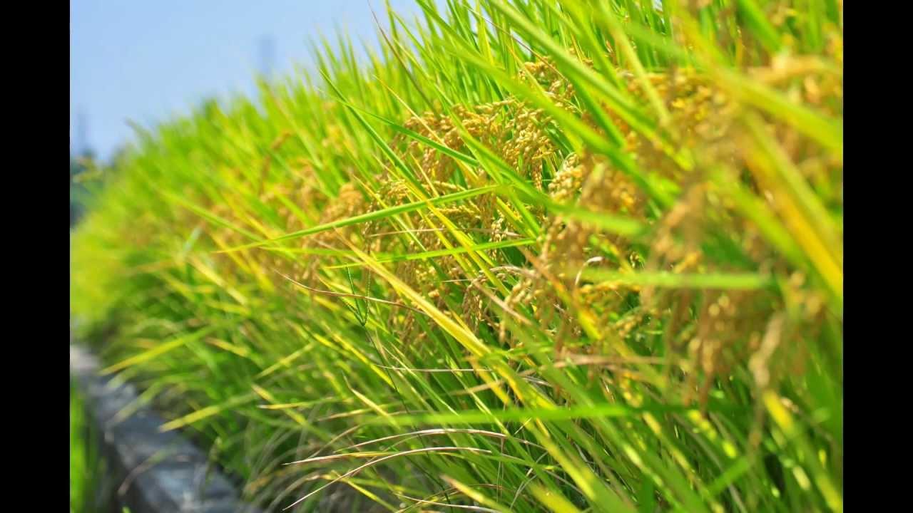 水稻生長 縮時 Youtube
