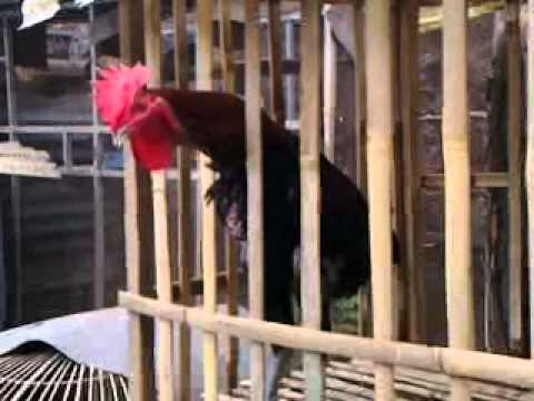 Peternak Ayam Pelung Kwalitas Super video