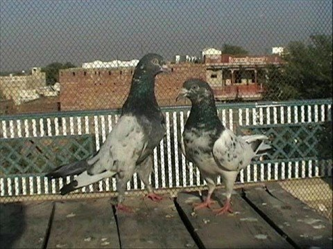 PIGEONS OF BABAR