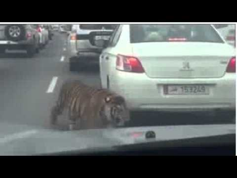 Just another day in Doha, Qatar. Tiger escapes and walks through traffic jam...