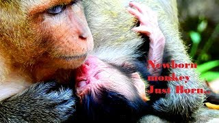 Breaking new !congrats Amari 's group -Mother monkey Dana give newborn this morning.
