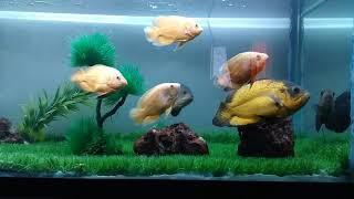 Vikrant fishtank Oscar fish