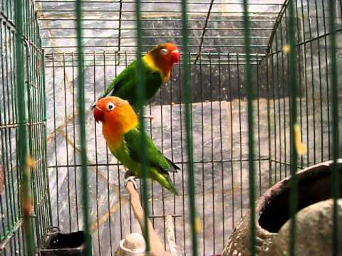 Lovebirds Singing In Peshawar video