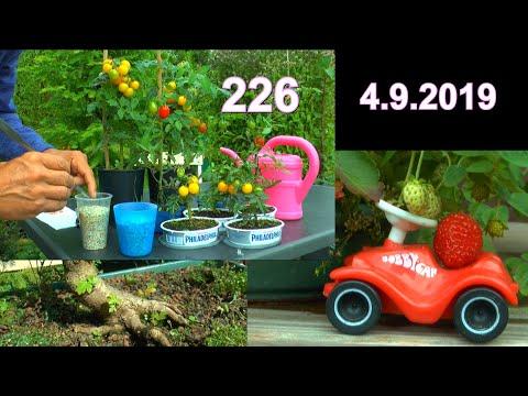 Tomaten Anzucht geht weiter Azaleen und Lonicera vermehren geht weiter und Bonsai Feldahorn danach