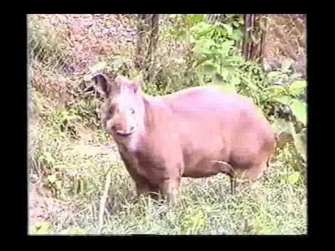 Danta o Tapir.avi