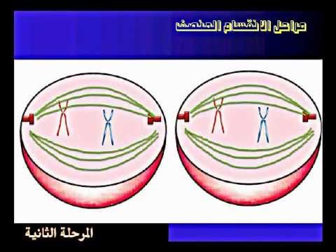 مراحل ال... Meiosis Stages