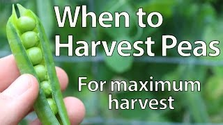 When to Harvest Peas