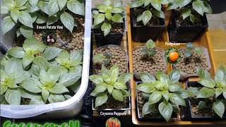 Cayenne Peppers Time Lapse - 11 hours in 11 seconds