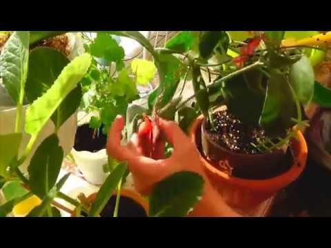 Хойя Каличина (Hoya calycina) - Пересадка