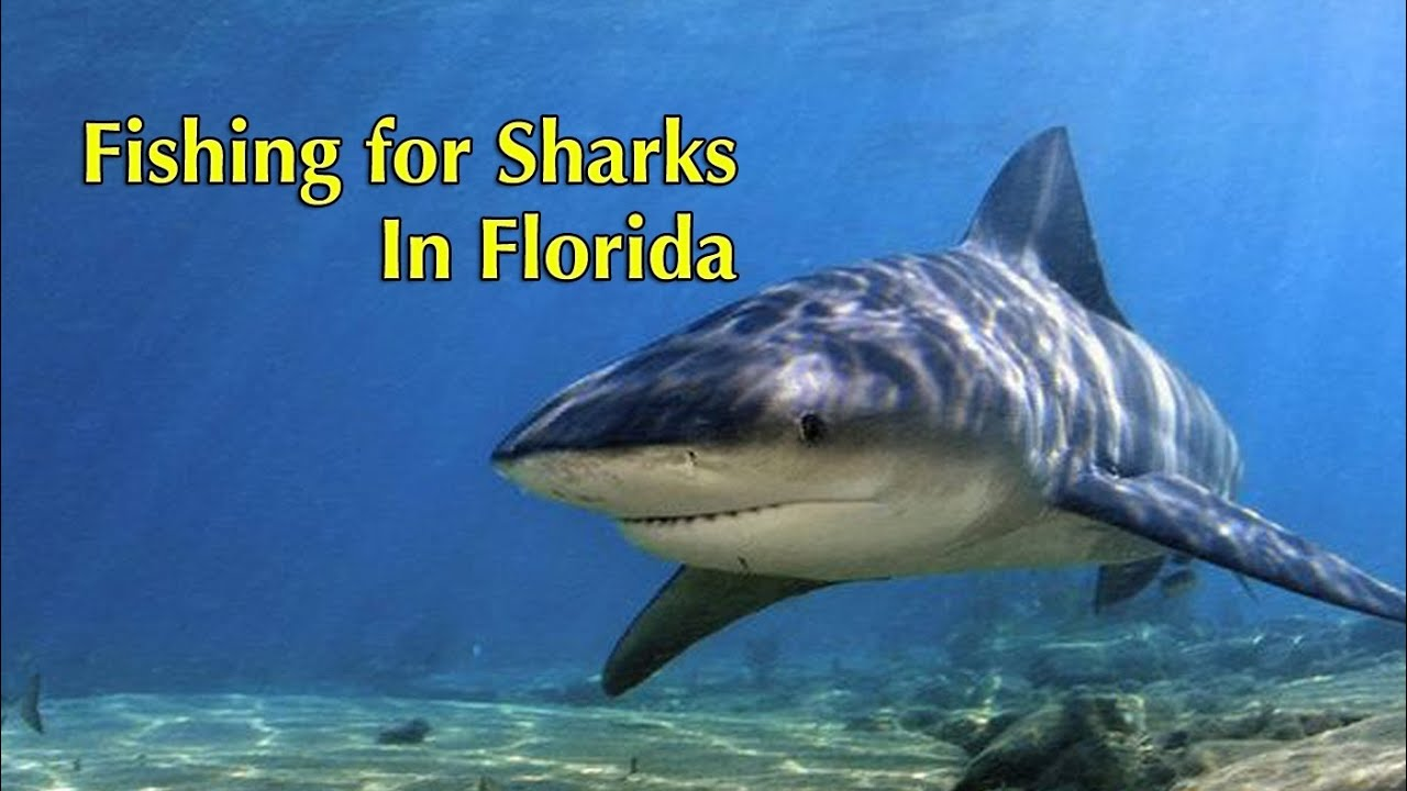 Bull shark fishing in florida youtube for Shark fishing in florida