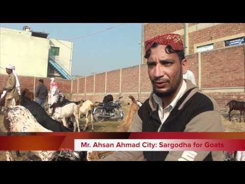 Eid ul Azha Animals Goats Sheep Cows 5 Nov 2011 Call for Order to mobile phone Lahore Pakistan - HD