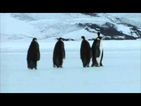 Emperor penguin video